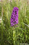 Northern Marsh Orchid